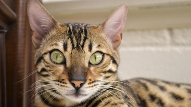 Bengal kittens for sale near me