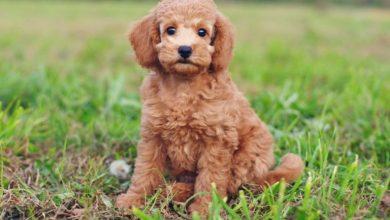 teacup poodle grow